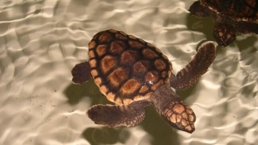 Zwei Schildkröten schwimmen im glasklaren leicht bewegten Wasser.