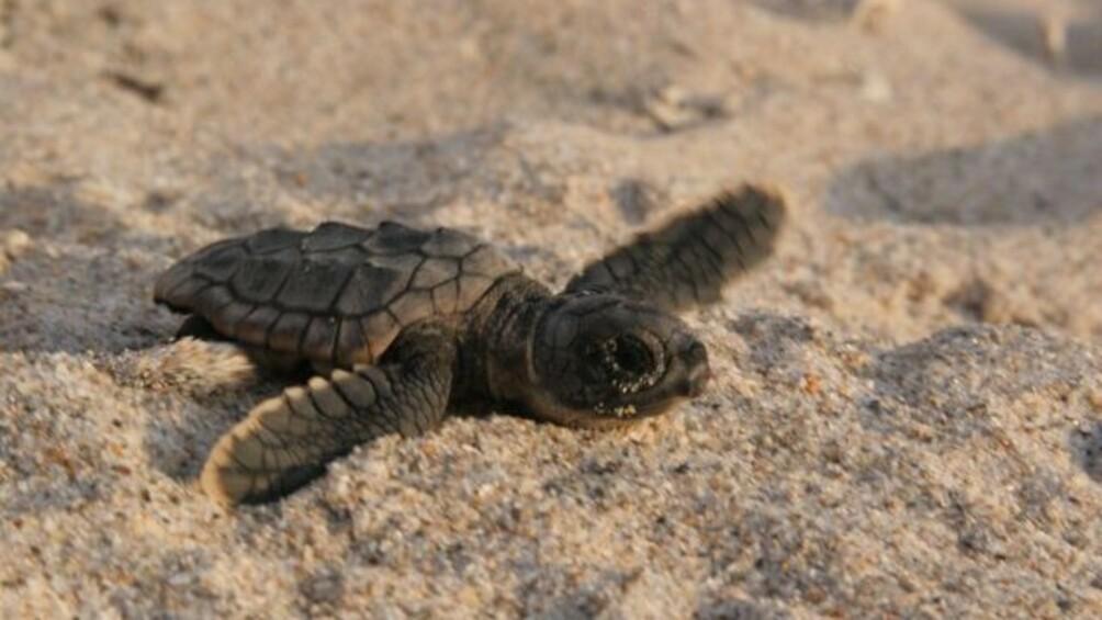 Tortuga - Die unglaubliche Reise der Meeresschildkröte ...