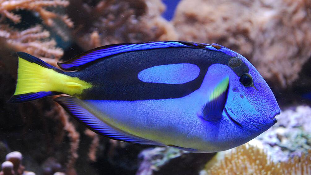 Link zu Station 3) Dorie – ein Paletten-Doktorfisch